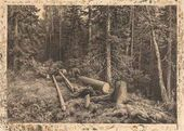 Felled Tree in the Forest. 1870