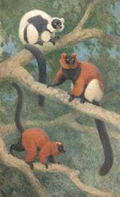 Dimorphism of Lemurs. 1934
