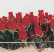 Ash Marc. Roses for the Just. 2002