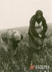 Weeding wheat in a field. [1942-1944]