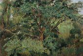 Oak in Akhtyrka. Early 1880s
