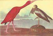 Один из 435 раскрашенных вручную гравюрных листов из уникального альбома орнитолога и художника Одюбона «Птицы Америки» (Лондон, 1827–1838 гг.)