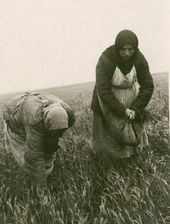 Weeding wheat in a field [1942–1944]