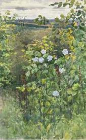 Цикорий. 1894